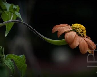 Mexican Sunflower in the Garden, Western Massachusetts