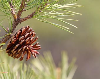 Canvas Wall Art: Canvas Pine Cone Photograph, Woodland Wall Art, Nature Canvas Print, Pine Tree Photo, Green and Brown Lake House Wall Art