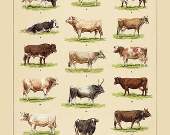 Cow Poster - Farmhouse Art ~ Beef and cow poster ~ vintage kitchen art ~ cooking poster ~ Farmhouse Kitchen Decor - Bovine Chart - Cow Lover