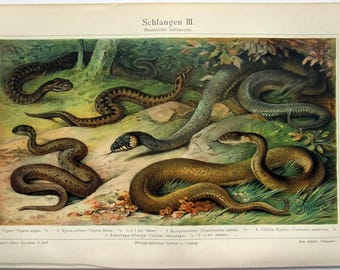 Snakes - Original 1907 Chromo-Lithograph by Meyers. Schlangen III