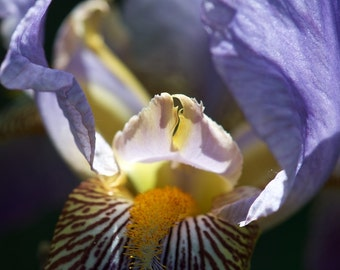 Iris Beards