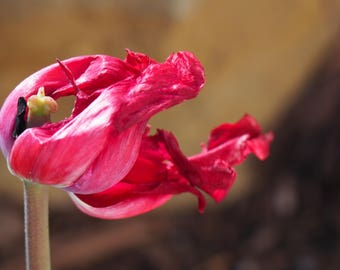 Red Tulip In The Wind