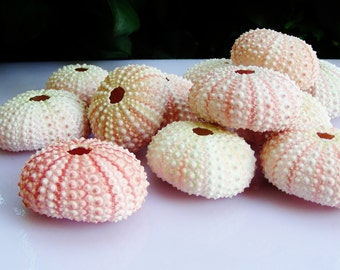 Delicate Natural  Baby Pink Sea Urchins  (6 pieces) ~ Real Sea Urchins ~ Beach Decor ~ Wedding Decor ~ Natural Shells ~ Real