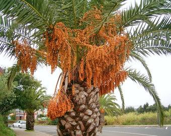 10 PHOENIX CANARIENSIS seeds date palm -pharaoh's palm