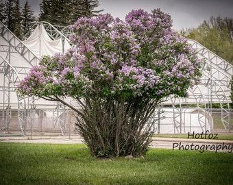 Giant Purple Lilac Bush Photo Durango Colorado Digital Download