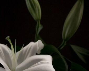 White Lily Print