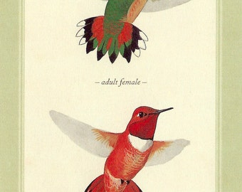 Rufous Hummingbird Postcard by David Sibley to Frame, Mail or use in Paper Arts and Mixed Media Projects PSS 2394