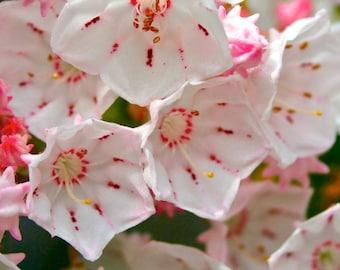 Bonsai - MOUNTAIN-LAUREL (kalmia Latifolia) 20+ extremely tiny seeds