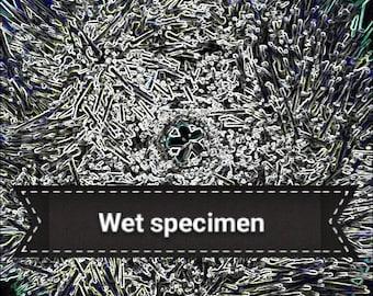 Green sea urchin wet specimen in jar ocean marine biology taxidermy curiosity oddity
