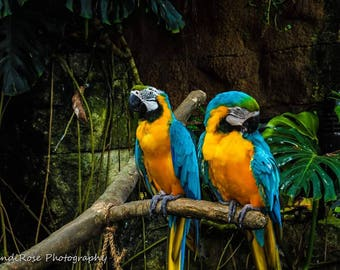 Blue-and-Yellow Macaw, Rainforest Photo, Macow Photo Print