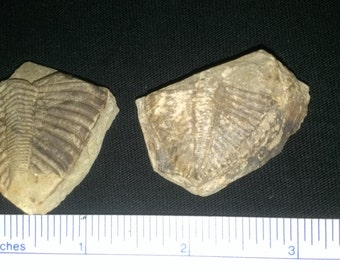 2 Trilobite Coronocephalus parts (1B)