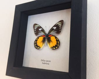 Real butterfly framed - Delias species