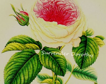 Caroline de Sansel Rose Prestele Vintage Poster Print  Botanical Lithograph To Frame 275
