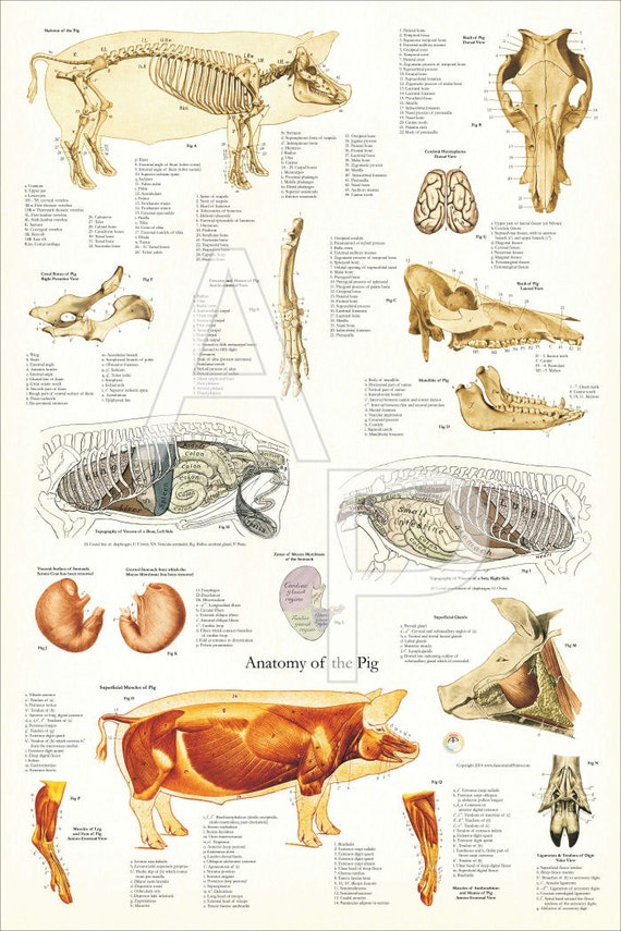 Großartig Schwein Anatomie Diagramm Bilder - Menschliche Anatomie ...