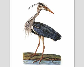 "Blue Heron Print, Egret Art (Blue Bird Artwork, Antique Cottage Wall Decor) -- ""The Heron"" 18th Century Artist"