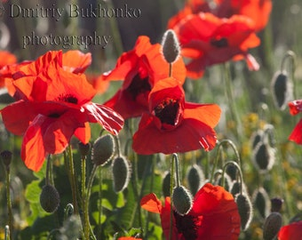 Poppy Flowers Photography, Nature Photography, Flower Photo, Nature Wall Art, Nature Photo, Canvas Prints, Home Decor