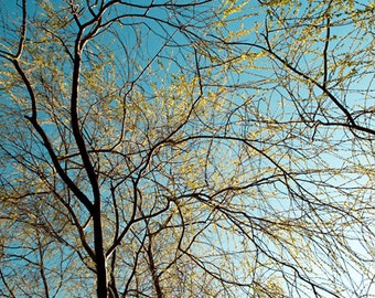 Golden Willow - Aluminum Print
