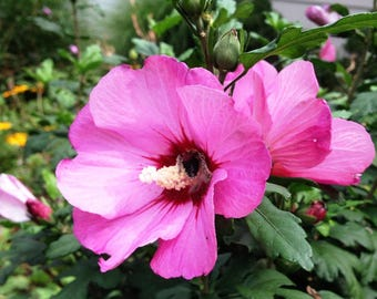 Pre-order for Spring 2018/ 24 to 36 inch Tall Live Rooted Pink Hibiscus aka Rose of Sharon - Beautiful Pink Blooms, Perennial