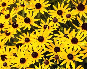 Black Eyed Susan Yellow Flowers Digital  Image to be Downloaded, 5 files 6x6, 5x7, 8x10, 8.5x11, 11x14           #6669BES