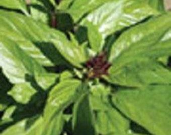 Basil Herb Plant, Thai Organic