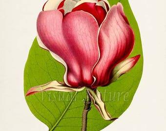 Magnolia Lennei Flower Art Print, Botanical Art Print, Flower Wall Art, Flower Print, Red Flower Art Print, Home Decor, Tulip Tree