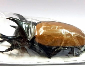 VERY LARGE Eupatorus gracilicornis Hercules Beetle. Perfect for Artwork framing taxidermy real Insect Thailand large