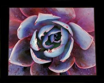 "Photograph of Pink and Orange Echeveria Succulent - Art Print 8""x10"""