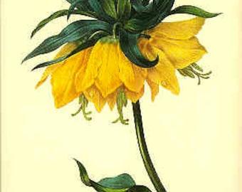 Redoute Vintage Botanical Print - Fritillaire - 42 - Yellow Flower Print - Yellow Flower - Vintage Flower Print - Botanical Print