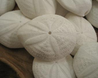 Puffy Sand Dollars (3) - Seashell Supply  - Seashells - Sand Dollar - Seashell craft supply - Beach Wedding