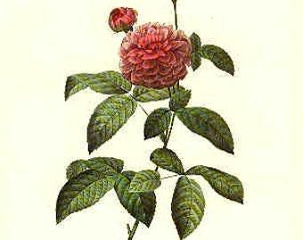 Redoute Botanical Rose Print  27