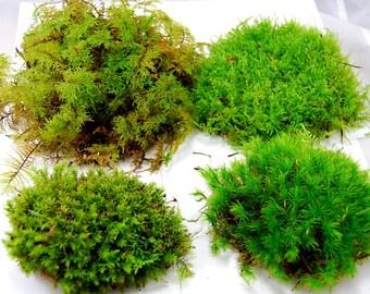 Live moss mix. Terrarium moss, vivarium moss, for miniature or fairy garden, terrarium plant, live decor, vivarium plant, for frogs
