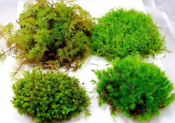 Live Moss Mix. Terrarium Moss, Vivarium Moss, For Miniature Or Fairy  Garden, Terrarium Plant, Live Decor, Vivarium Plant, For Frogs From  Scandicreations On ...