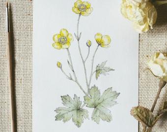 Buttercups Watercolour - Original Illustration. Botanical drawing.