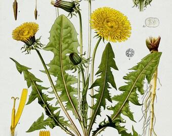 Dandelion Botanical Print / Canvas Fabric / Vintage Art