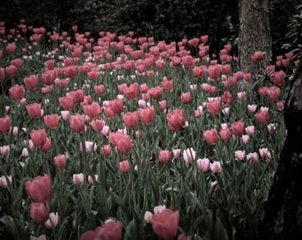 "Tulip photograph, flower wall art, pink, red -- ""Multitudes"", an 8x12-inch fine art photograph"