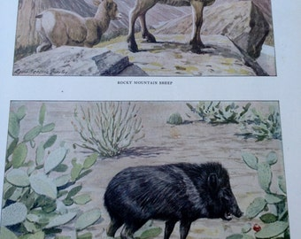 Rocky Mountgain Sheep and Muskhog Vintage 1906 Print Louis Agassiz Fuertes