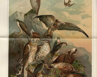 Antique lithograph of birds of prey from 1897
