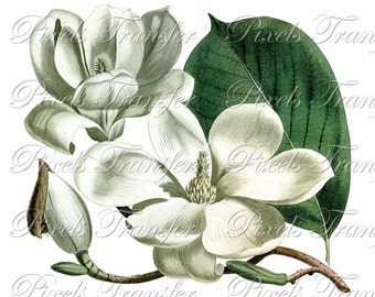 MAGNOLIA Instant Download JPEG+PNG, Digital Download, vintage botanical illustration 073