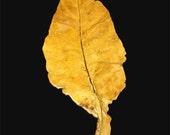 Tobacco Leaf Decor (Flue-Cured)