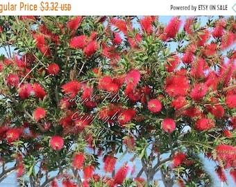 30 Seeds Crimson Bottlebrush Great potted Tropical Multi-use Plant Bright Red Blooms Callistemon citrinus