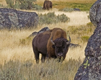 Mr. Buffalo, Original Fine Art Photography, 8.5 x 11