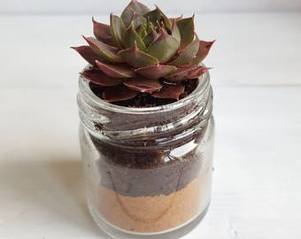 Sempervivum / Succulent Glass Jar Favours (Single Small Plant with Sand Layer) - Gifts, Wedding Favours, Baby Shower Favours