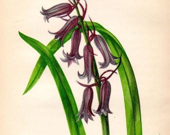 Original 1860 Victorian Flower Plant Print Botanical Chromolithograph - Wild Hyacinth