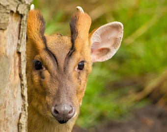 Wildlife Photographic signed mounted A4/A3 Prints of a Muntjac