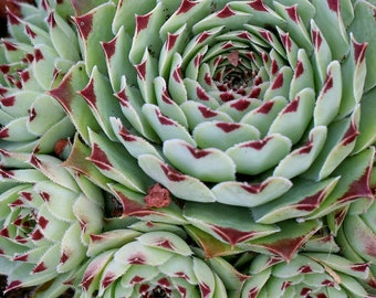 "Succulent / Greenii 4"" Pot RT95-D"