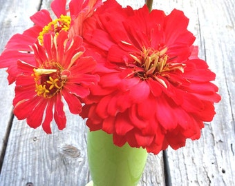 Dahlia Flowered Zinnias, Large Coral Zinnia Seeds, Great for Butterfly Gardens and Cut Flower Gardens