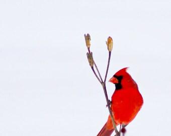 Cardinal in Snow #2 - fine art photography