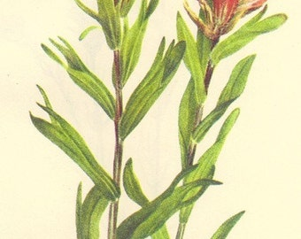 Vintage 1968 Color Print Wild Flowers of America Book PLATE 343 344 Indian Paintbrush and Owl Clover