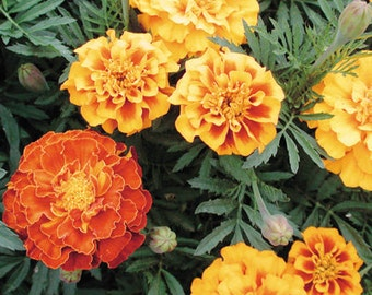 MARIGOLD SEED - French Brocade