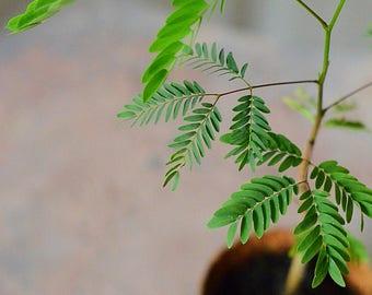 "Guaje Tree (Leucaena leucocephala)  Live Plant Ships in 100% Biodegradable 4"" Coconut Fiber Planter"